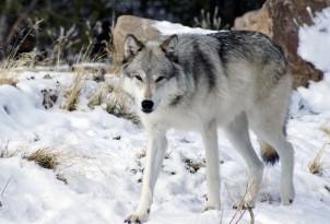 El perro y el lobo tan iguales y tan distintos  EROSKI CONSUMER