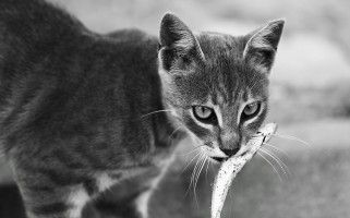 Ocho alimentos peligrosos para el gato