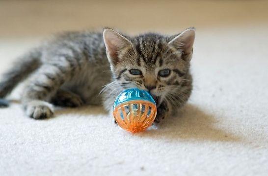 Adoptar a un cachorro de gato cuidados eroski consumer - Cuidados gato 1 mes ...