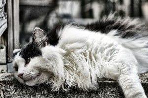 Alimentos que cuidan el pelo del gato