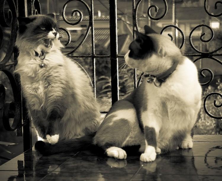Gatos qué hacer cuando dos gatos se pelean