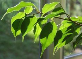El ficus y sus cuidados eroski consumer for Ficus interior cuidados