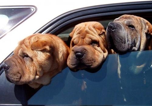 Por qué los perros shar-pei tienen tantas arrugas? | EROSKI CONSUMER