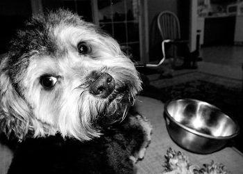 La alimentación de un perro esterilizado