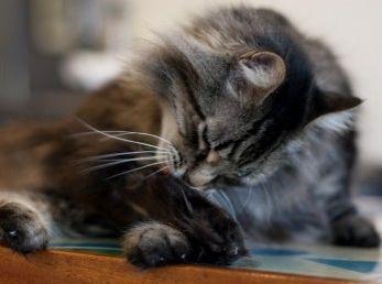 Bolas de pelo en el estómago del gato, ¿cómo evitarlas?