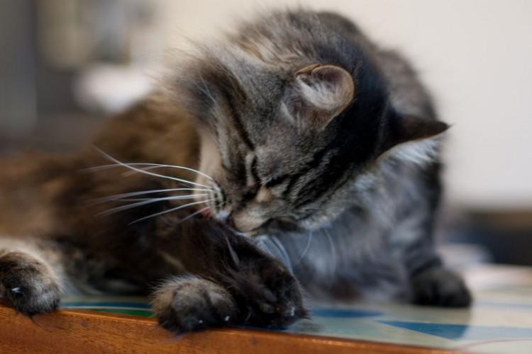 Gato con lamido obsesivo