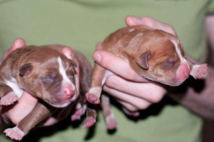 perros pitbull recien nacidos