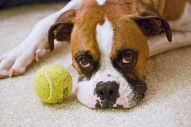 Perros con pelota
