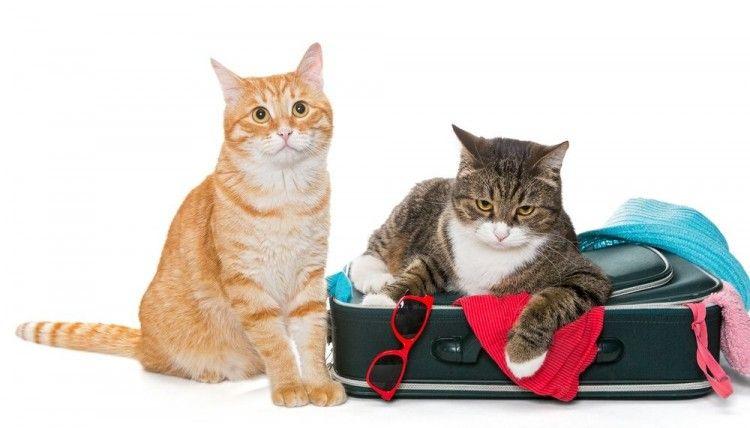 Resultado de imagen de gato viaje