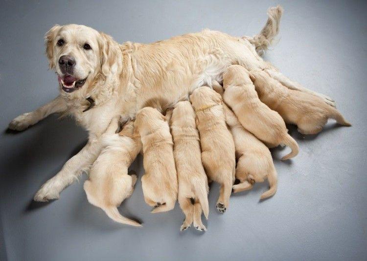 e3e6a1174 Cuánto dura el parto de una perra  Y 7 preguntas más