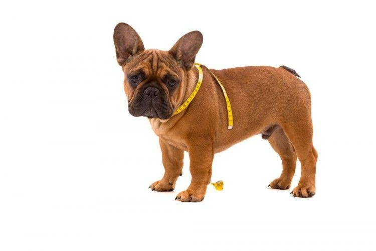 Diabetes en perros: todo lo que debes saber