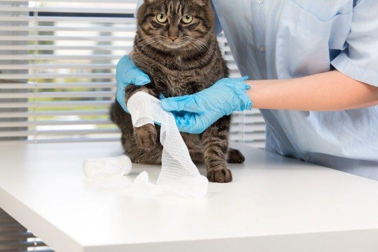 Herida gato