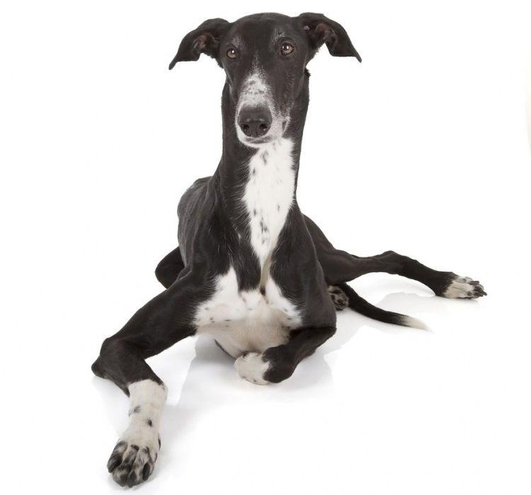 Galgo - Perros