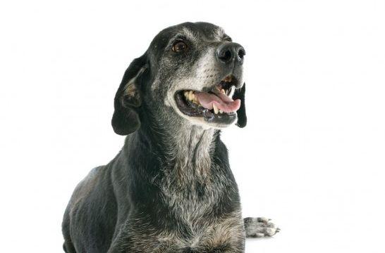 6 secretos sobre las canas en perros que deberías conocer   EROSKI ...